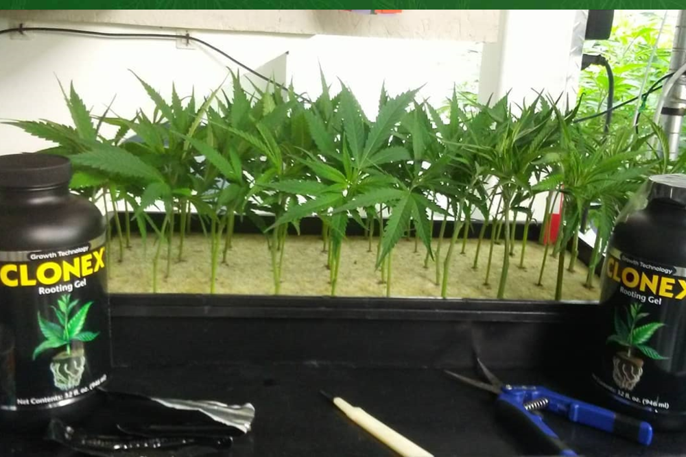 https://www.cannabeast.co.il/wp-content/uploads/2019/06/clones.png